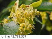 Купить «Липа крупнолистная цветет (Tilia)», эксклюзивное фото № 2789337, снято 30 июня 2009 г. (c) Алёшина Оксана / Фотобанк Лори