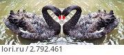Купить «Влюблённые лебеди», фото № 2792461, снято 23 октября 2019 г. (c) Ольга Аристова / Фотобанк Лори