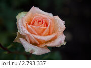 Роза. Стоковое фото, фотограф Aleksandr Chernukhin / Фотобанк Лори