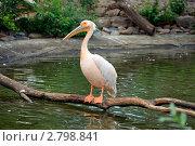 Купить «Розовый пеликан сидит на ветке над водой», фото № 2798841, снято 25 августа 2011 г. (c) Ольга Липунова / Фотобанк Лори