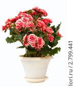 Купить «Цветущий цветок в горшке. Бегония клубневая (Begonia tuberhybrida)», фото № 2799441, снято 16 января 2019 г. (c) Павел Коновалов / Фотобанк Лори