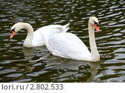 Купить «Белые лебеди шипуны на озере», фото № 2802533, снято 25 августа 2011 г. (c) Ольга Липунова / Фотобанк Лори