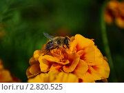 Трутень. Стоковое фото, фотограф Татьяна Кожемяк / Фотобанк Лори