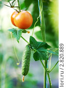 Купить «Овощи на грядке», фото № 2820889, снято 21 января 2019 г. (c) Дмитрий Калиновский / Фотобанк Лори