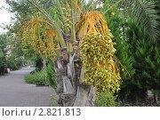 Плоды пальмы. Стоковое фото, фотограф Ольга Першина / Фотобанк Лори