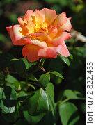 Купить «Чайная роза (Rosa odorata)», эксклюзивное фото № 2822453, снято 24 августа 2011 г. (c) lana1501 / Фотобанк Лори