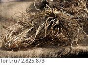 Купить «Корень валерианы подсушивается», эксклюзивное фото № 2825873, снято 25 сентября 2011 г. (c) Короленко Елена / Фотобанк Лори