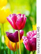 Купить «Яркие тюльпаны в парке», фото № 2826445, снято 11 мая 2011 г. (c) Elnur / Фотобанк Лори