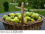 Купить «Плетеная корзина со спелыми грушами», фото № 2828609, снято 29 августа 2008 г. (c) Андрей Некрасов / Фотобанк Лори