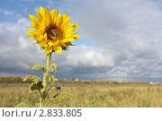 Купить «Одинокорастущий подсолнух», эксклюзивное фото № 2833805, снято 20 сентября 2011 г. (c) Александр Тарасенков / Фотобанк Лори