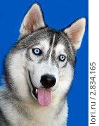 Купить «Портрет хаски с голубыми глазами на синем фоне», фото № 2834165, снято 25 сентября 2011 г. (c) RedTC / Фотобанк Лори