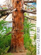 Старое сосновое дерево. Стоковое фото, фотограф Vitas / Фотобанк Лори