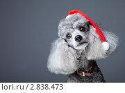 Купить «Пудель в новогоднем колпаке», фото № 2838473, снято 26 июня 2011 г. (c) Irina Danilova / Фотобанк Лори
