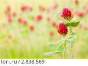 Лекарственное растение клевер. Стоковое фото, фотограф Архипова Мария / Фотобанк Лори