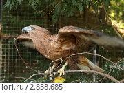 Купить «Сокол в вольере зоопарка», эксклюзивное фото № 2838685, снято 6 сентября 2011 г. (c) Дмитрий Неумоин / Фотобанк Лори