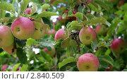 Урожай яблок. Стоковое видео, видеограф Андрей Воскресенский / Фотобанк Лори