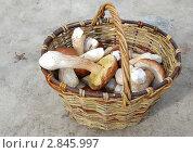 Купить «Плетеная корзина с белыми грибами», эксклюзивное фото № 2845997, снято 24 сентября 2011 г. (c) lana1501 / Фотобанк Лори