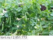 Купить «Сладкие стручки зеленого горошка, растущего в огороде», фото № 2851773, снято 26 сентября 2011 г. (c) Татьяна Кахилл / Фотобанк Лори