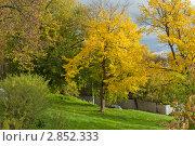 Золотое дерево. Стоковое фото, фотограф Ларионов Олег / Фотобанк Лори