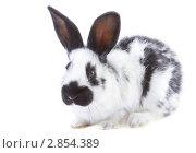 Купить «Пятнистый кролик», фото № 2854389, снято 7 октября 2011 г. (c) Сергей Прищепа / Фотобанк Лори