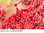 Купить «Красная калина», фото № 2863049, снято 2 октября 2011 г. (c) Наталья Двухимённая / Фотобанк Лори