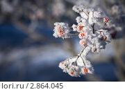 Купить «Заснеженная ветка рябины», фото № 2864045, снято 5 декабря 2010 г. (c) Виктория Катьянова / Фотобанк Лори