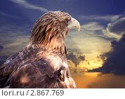 Купить «Белохвостый орлан на закате», фото № 2867769, снято 14 июля 2011 г. (c) Яков Филимонов / Фотобанк Лори