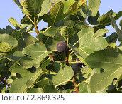 Фиговое дерево. Стоковое фото, фотограф Georgios Kollidas / Фотобанк Лори