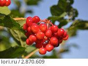 Купить «Гроздь ягод калины», фото № 2870609, снято 14 августа 2011 г. (c) Ярослав Катеринчик / Фотобанк Лори