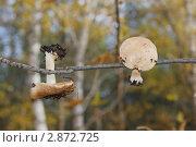 Грибы сушатся на ветке. Стоковое фото, фотограф Светлана Боронина / Фотобанк Лори