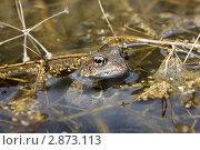 Лягушка в болоте. Стоковое фото, фотограф Елена Фомичева / Фотобанк Лори