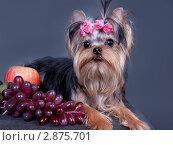 Купить «Щенок йоркширского терьера с виноградом и яблоком», фото № 2875701, снято 9 апреля 2011 г. (c) Ирина Игумнова / Фотобанк Лори