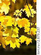 Кленовые листья. Стоковое фото, фотограф Иван Губанов / Фотобанк Лори