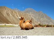 Купить «Верблюды в песчаной долине Нубра. Ладакх. Индия», фото № 2885945, снято 7 сентября 2011 г. (c) Татьяна Белова / Фотобанк Лори