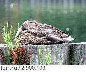 Синекрылый чирок, спрятавший клюв в перьях. Стоковое фото, фотограф Воробьева Елена / Фотобанк Лори