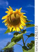 Купить «Одинокий подсолнух на фоне синего неба», фото № 2902513, снято 7 августа 2011 г. (c) FotograFF / Фотобанк Лори