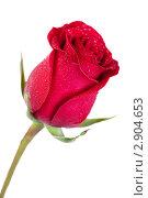 Красная роза. Стоковое фото, фотограф Нилов Сергей / Фотобанк Лори