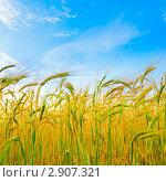 Купить «Ржаное колосья на фоне неба», фото № 2907321, снято 2 августа 2011 г. (c) Дмитрий Наумов / Фотобанк Лори