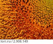 Цветы подсолнуха. Стоковое фото, фотограф Алексей Одиноких / Фотобанк Лори