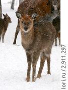 Купить «Олененок (Cervus nippon) в зимнем лесу», эксклюзивное фото № 2911297, снято 23 января 2011 г. (c) Щеголева Ольга / Фотобанк Лори