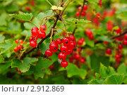 Купить «Красная смородина. (Ribes rubrum)», эксклюзивное фото № 2912869, снято 3 июля 2010 г. (c) Алёшина Оксана / Фотобанк Лори