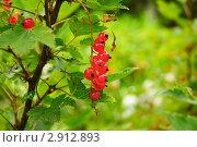 Купить «Красная смородина. (Ribes rubrum)», эксклюзивное фото № 2912893, снято 3 июля 2010 г. (c) Алёшина Оксана / Фотобанк Лори