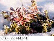 Vaccinium myrtillus L. - Черника миртолистная. Стоковое фото, фотограф Анатолий Гуреев / Фотобанк Лори