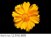 Купить «Цветок кореопсиса (Coreopsis ferulifolia) на черном фоне», фото № 2916809, снято 4 июля 2010 г. (c) Алёшина Оксана / Фотобанк Лори