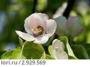 Пчела андренида на цветке айвы. Стоковое фото, фотограф Юрий Мураховский / Фотобанк Лори