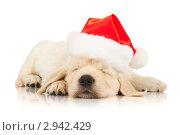 Купить «Щенок золотистого ретривера в шапке Деда Мороза», фото № 2942429, снято 28 июня 2011 г. (c) Чирцова Наталья / Фотобанк Лори