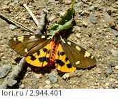Яркая бабочка. Стоковое фото, фотограф АЛЕКСАНДР ЖАРКОВ / Фотобанк Лори