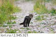 Котенок-подросток на околице деревни. Стоковое фото, фотограф хлебников алексей / Фотобанк Лори