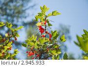 Купить «Красная смородина. (Ribes rubrum)», эксклюзивное фото № 2945933, снято 4 июля 2010 г. (c) Алёшина Оксана / Фотобанк Лори