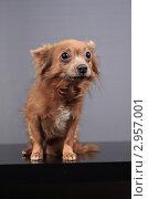 Купить «Собака смотрит в камеру», эксклюзивное фото № 2957001, снято 21 сентября 2018 г. (c) Яна Королёва / Фотобанк Лори